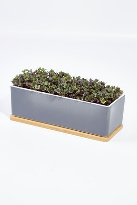 Urban Greens Microgreens Mini Garden Mustard Kit